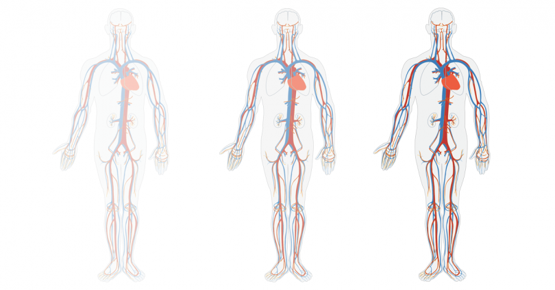 illustrated human circulatory system anatomy